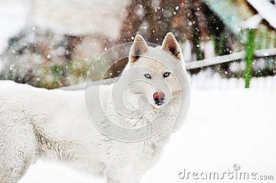 White huskey