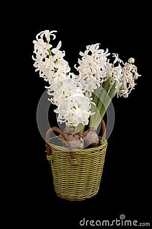 White Hyacinths in basket