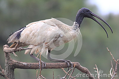 Ibis bird perching
