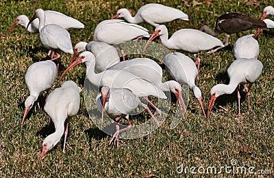 White Ibis, birds of Florida