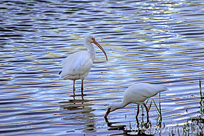 White Ibis eating in a pond