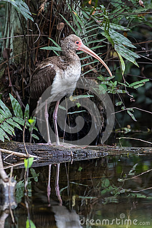 Free White Ibis, Juvenile, Reflecting In A Pond, Big Cypress National Stock Photo - 68820610