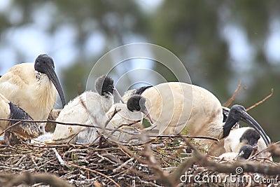 Ibis juveniles in nest