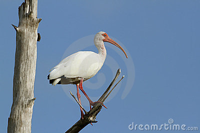 White Ibis Perched in a Tree