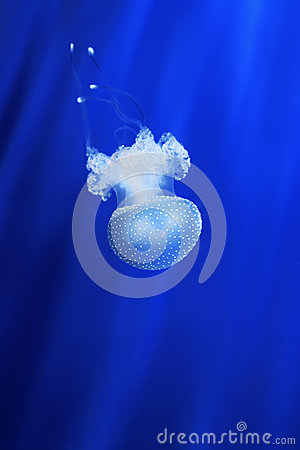 White jellyfish. Genoa aquarium, Italy.