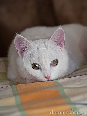 White kitten on a bed linen