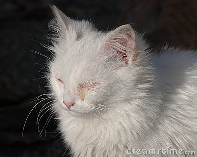 White Kitten with Eye Infection