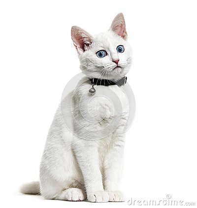Free White Kitten Mixed-breed Cat Wearing A Bell Collar, Isolated On Royalty Free Stock Photography - 105772627
