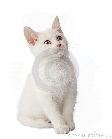 White kitten on white