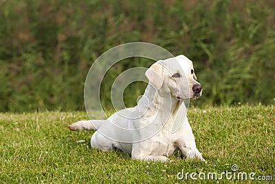 White Labrador Retriever Female