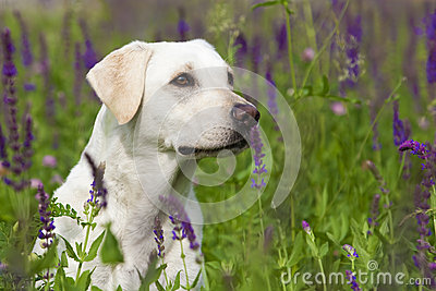 White Labrador Retriever Female