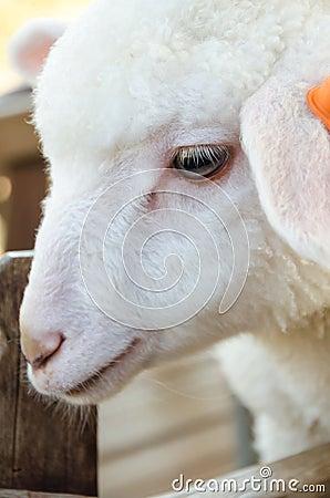 Free White Lamb Stock Photos - 37086743