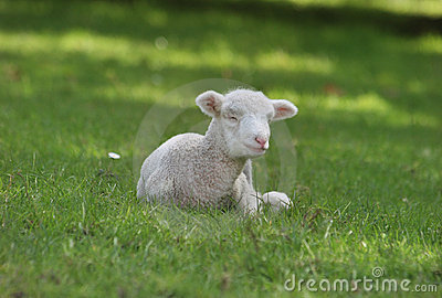 White lamb lying down