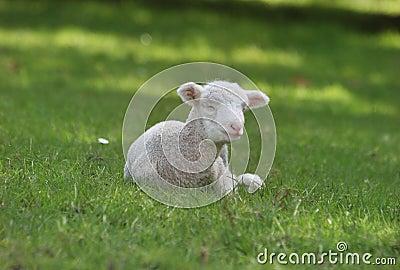 White Lamb Lying Down Stock Images Image 16740534