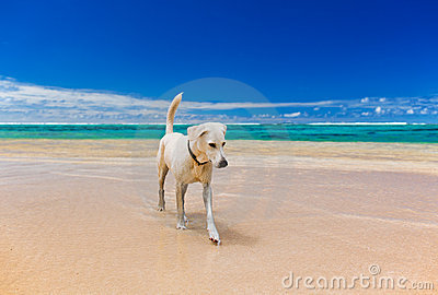 White large dog on a amazing tropical beach