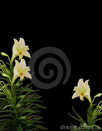White Lilies on black
