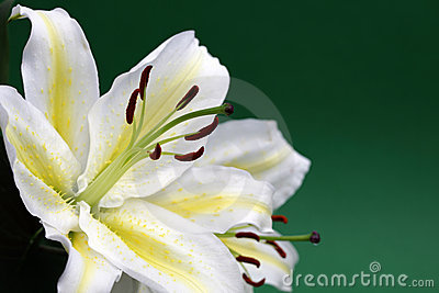 White lily with copy space