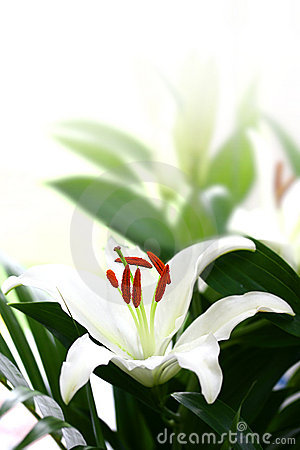 White lily with copyspace.