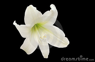 White Lily isolated on black
