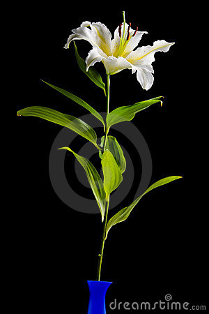 Free White Lily On Black Background Royalty Free Stock Images - 4019209