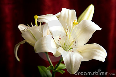 White lily on the red background