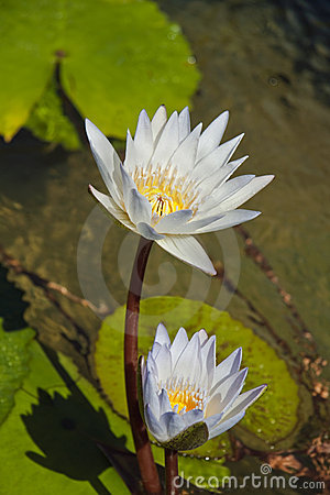 White Lily s