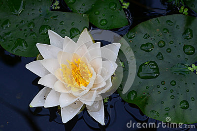 White lily on the water