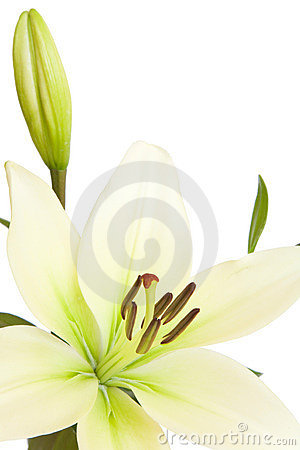 Free White Lily With Copy Space Royalty Free Stock Photography - 12275567