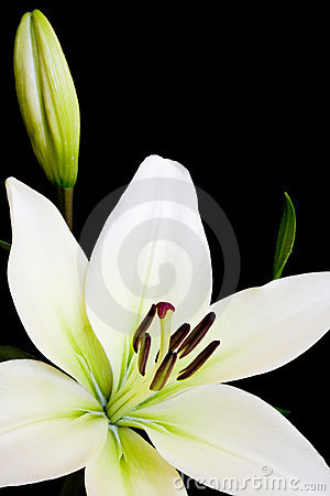 Free White Lily With Copy Space Royalty Free Stock Photo - 2567855