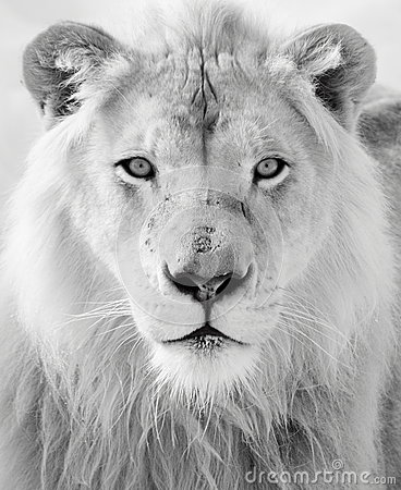 Free White Lion Royalty Free Stock Photos - 37954508