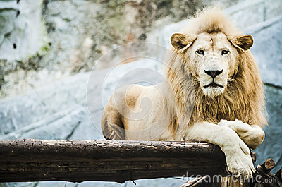 White lion in captivity