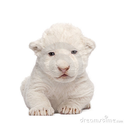 Free White Lion Cub (1 Week) Stock Photography - 5877132