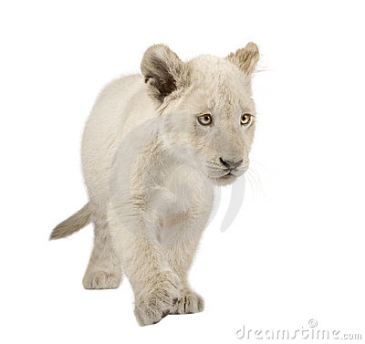 Free White Lion Cub (12 Weeks) Royalty Free Stock Images - 6003889