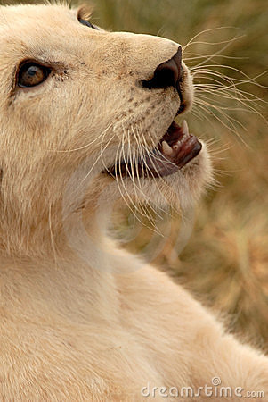 Free White Lion Cub, South Africa Royalty Free Stock Photography - 477437