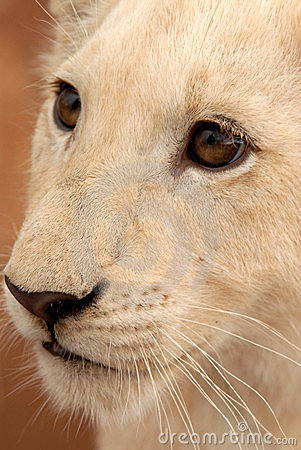 Free White Lion Cub, South Africa Royalty Free Stock Images - 477439