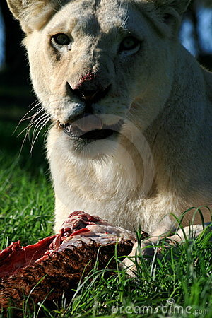 White lion eating