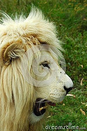Free White Lion Head Profile Royalty Free Stock Photo - 1690405