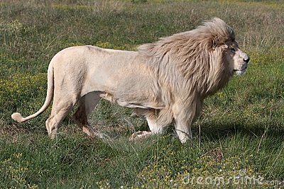 White Lion Male