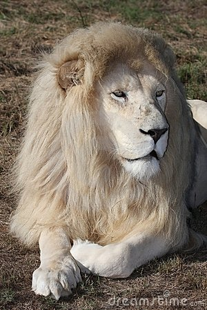 Free White Lion Male Stock Images - 13281934
