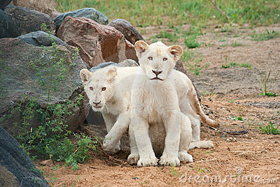 White lion (P. Leo) cubs