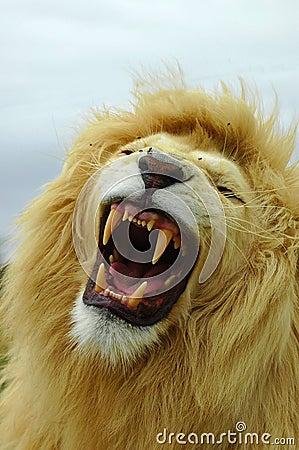 White lion roar