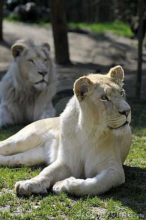 Free White Lioness Lying In Grass Stock Images - 9017944