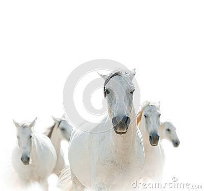 Free White Lipizzian Horses Royalty Free Stock Photography - 45048217