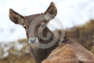 White-lipped deer
