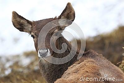 White-lipped deer