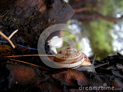 White-lipped snail detail