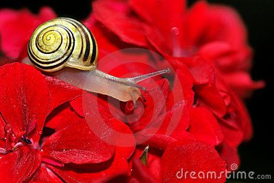 White-lipped snail on geranium flower