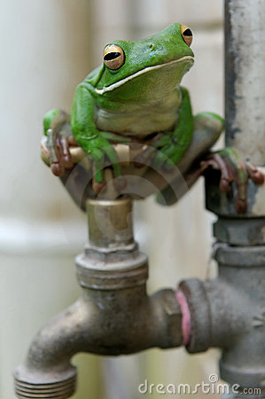 White-lipped Tree Frog on faucet