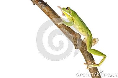 White Lipped Tree Frog - Litoria Infrafrenata