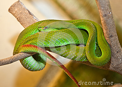 White-lipped Tree Viper. Indonesia.